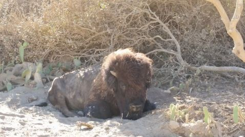 A rogue bison laying along the Trans Catalina Trail road.