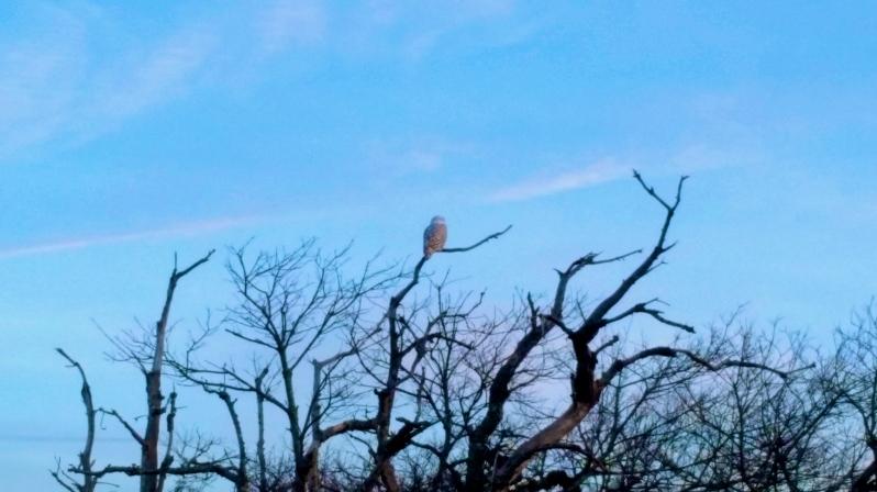 Snowy Owl at Crane Beach - Ipswich, MA